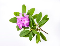 Beautiful pink purple branches with lush Rhododendron flowers and white background. Asian card for relax and meditation, de focused