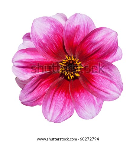 Beautiful Pink Purple Dahlia Flower Isolated on White Background