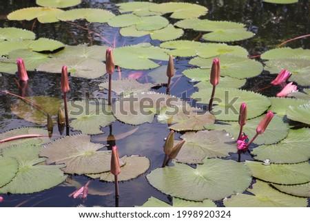 Beautiful pink purple water lily lotus in a pond in Botanical garden in Spain. Lotus leaves in water, pattern background. Stock fotó ©