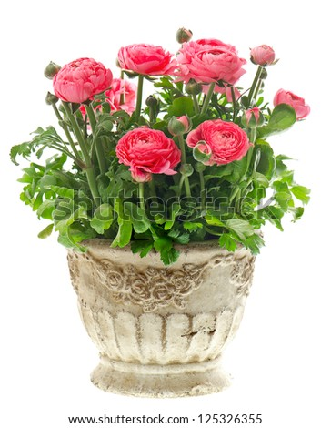 beautiful pink ranunculus plant in vintage pot on white background