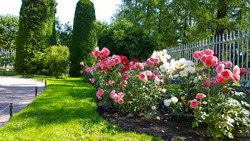 Beautiful pink, red and white nostalgic roses in the park. Flowerbed with shrub rose. Thuja topiary cone shaped on the background. Flowers Blossom. Flower cultivars, selection. Beauty in nature.