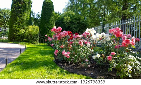 Beautiful pink, red and white nostalgic roses in the park. Flowerbed with shrub rose. Thuja topiary cone shaped on the background. Flowers Blossom. Flower cultivars, selection. Beauty in nature. Stock photo ©