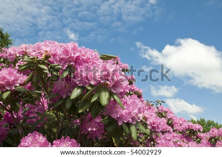 Beautiful pink Rhododendron bush with partly cloudy blue sky in the background - stock photo