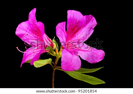 Beautiful Pink Rhododendrums isolated on black