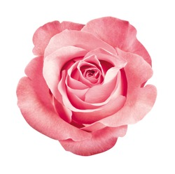 beautiful pink rose blossom, isolated