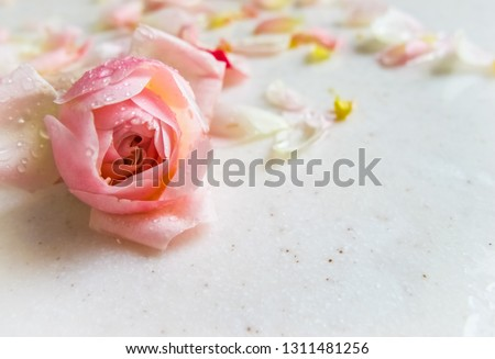 Beautiful pink rose bud and petals with dew drops on marble. Perfect background greeting card for birthday, Valentine's Day, Mother's Day.
