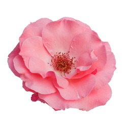 beautiful pink rose flower isolated on white background,way in paths
