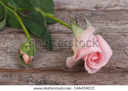 beautiful pink rose flower with buds on the old wood