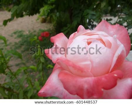beautiful pink rose flowers Stok fotoğraf ©