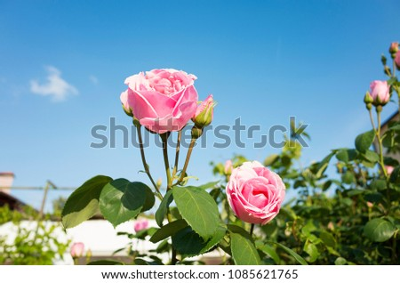 Stock Photo Beautiful pink rose flowers and blue sky. Nice details of roses on sunny spring day. Colorful and happy background image.
