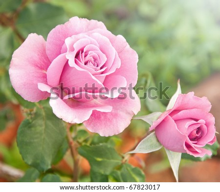 Beautiful pink rose in a garden - stock photo