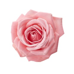 Beautiful pink rose isolated on white background. Pink rose blossom