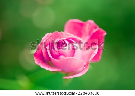Beautiful pink rose on green field background