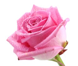 beautiful pink rose with drops close up, isolated on white