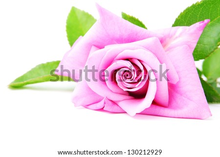 Beautiful pink rose with green leaves isolated on the white background