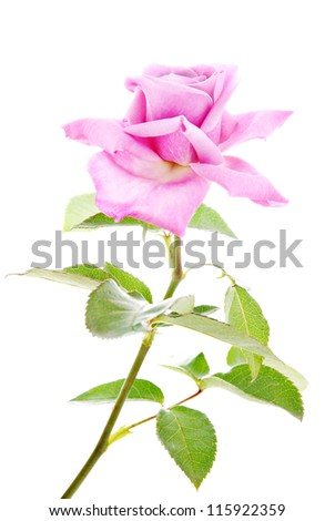 Beautiful pink rose with green leaves isolated on white background