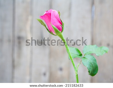 beautiful pink rose with old wood wall background