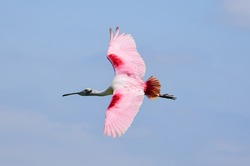 beautiful pink roseate spoonbill in flight over the water in spring at the smith oaks rookery on high island, near winnie, texas