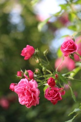 Beautiful pink rosebush in the garden on a sunny day. Pink rose buds in the sunshine. Blooming garden roses and buds.
