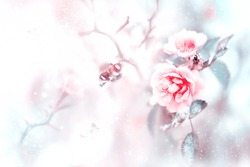 Beautiful pink roses and butterflies in the snow and frost on a blue and pink background. Artistic winter natural christmas image. Selective and soft focus.