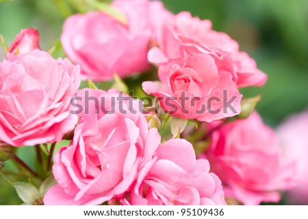 Beautiful pink roses bunch growing in park, many wild fragrant flowerheads in summertime in Poland.