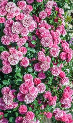 Beautiful pink roses flowers in garden, outdoors