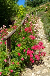 Beautiful pink roses next to a natur path a way in garden