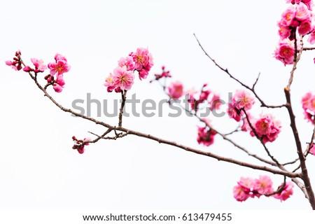 Beautiful pink sakura cherry blossom isolated on white background