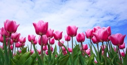 Beautiful pink tulip flowers blooming flowers in springtime in the Netherlands real Dutch tulips