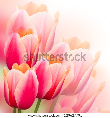 Beautiful pink tulips Spring background