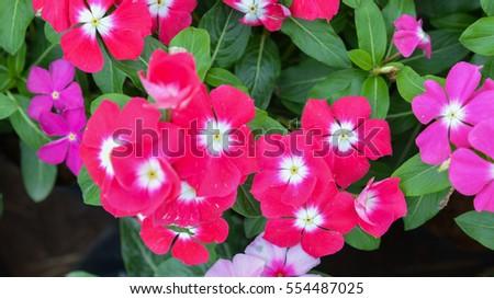 Beautiful pink vinca flower field in public garden madagascar beautiful pink vinca flower field in public garden madagascar periwinkle catharanthus roseus mightylinksfo