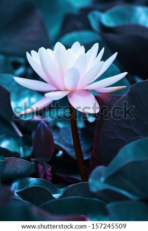 Beautiful pink water lily in the pond with leaves at moon light