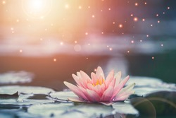 Beautiful pink water lily or lotus with sunlight in the pond.