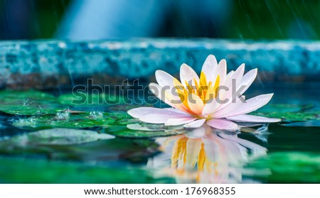 beautiful pink waterlily or lotus flower in a pond with rain drop