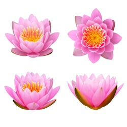 beautiful pink waterlily or lotus flower isolate on white background.