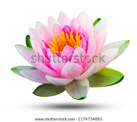 beautiful pink waterlily or lotus flower isolate on white background with clipping path.