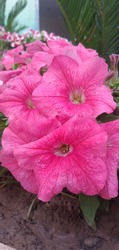 Beautiful pinkflower in the company garden sheikhupura Pakistan