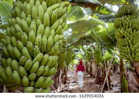 Beautiful plantation with a rich banana crop, woman as a tourist or farmer walking between a trees. Concept of a green tourism or exotic fruits producing