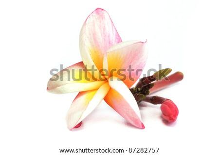 Beautiful plumeria flowers