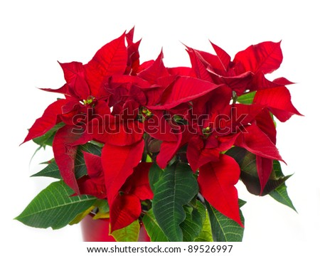 beautiful poinsettia. red christmas flower on white background