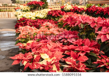 Beautiful poinsettias blooming at greenhouse, ready for the Christmas holiday season.