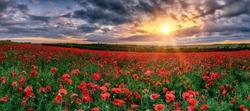 Beautiful poppy field during sunset - panorama