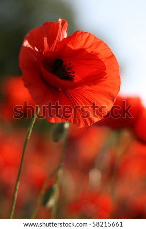Beautiful poppy flower on the green field in the sunlight