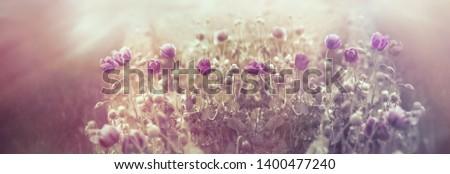 Beautiful poppy flower, sunset in meadow of poppy flowers #1400477240