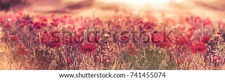 Beautiful poppy flowers in meadow, wild red poppy flowers lit by sun rays in late afternoon