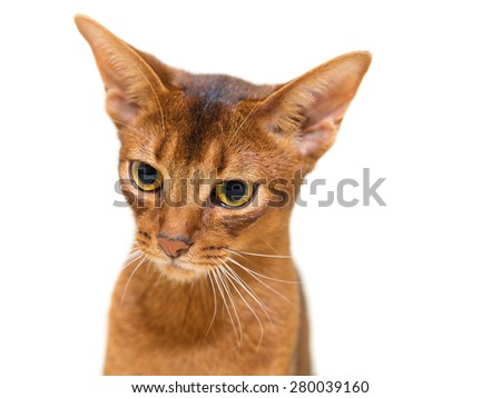 Beautiful portrait Abyssinian cat on a white background