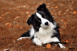 Beautiful portrait dog breed Border collie on the brown ground with his stick. Beautiful brown eyes and black-white glossy coat. Curious look and waiting for retrieve. Simply dog friend man.