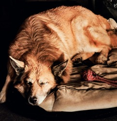Beautiful portrait of a big furry calm dog sleeping.