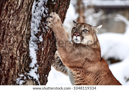 Beautiful Portrait of a Canadian Cougar. mountain lion, puma, cougar behind a tree. panther, Winter scene in the woods. wildlife America #1048119334