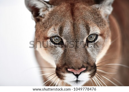 Beautiful Portrait of a Canadian Cougar. mountain lion, puma, panther, Winter scene in the woods. wildlife America